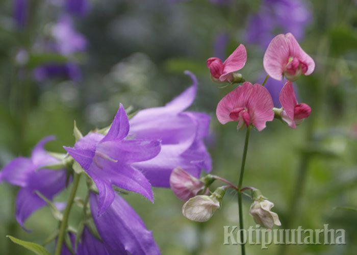 Ukonkello (Campanula latifolia) ja ruusunätkelmä (Lathyrus latifolius). www.kotipuutarha.fi