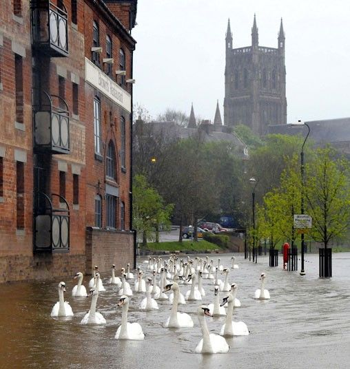 Swan glide along the flooded riverside walkways in the shadow of the cathedral in Worcester