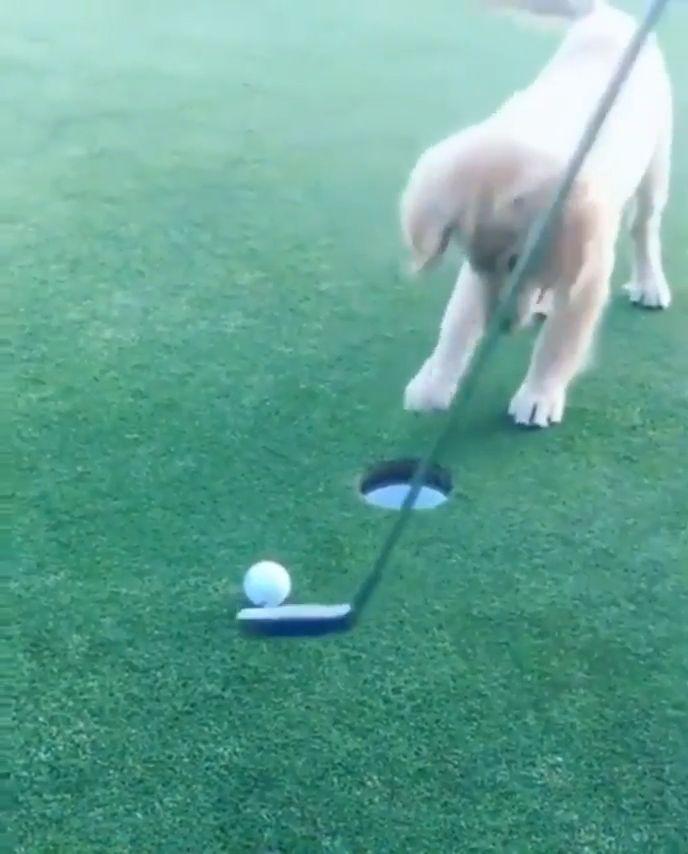 Golf spielen mit meinem süßen Welpen   – Gifs 2