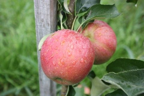 Columnar Apple Malini® Subito®  An early ripening and fast-bearing columnar apple
