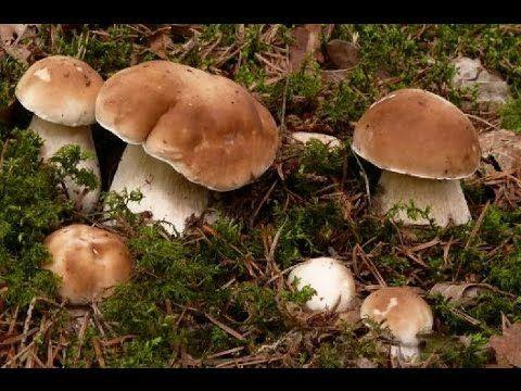 Белые грибы как бизнес идея - YouTube