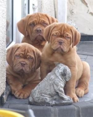 """Dogue de Bordeaux Puppies...""""Hootch puppies"""""""