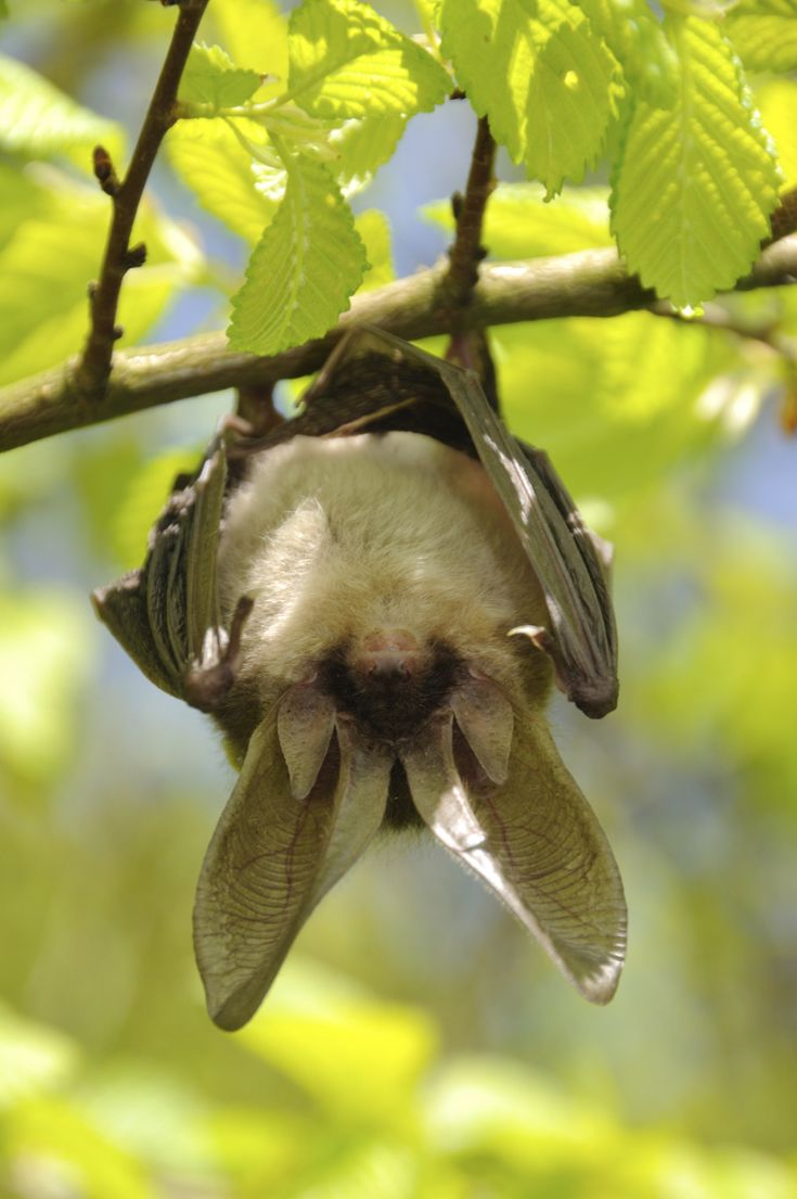 Bats are nocturnal mammals who can eat their weight in insects in one night. This works out to about 500 bugs an hour!