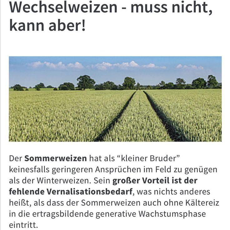#sommerweizen #wechselweizen #dino http://www.lgseeds.de/kulturen/getreide/sommerweizen/  #LG #Limagrain #Landwirtschaft