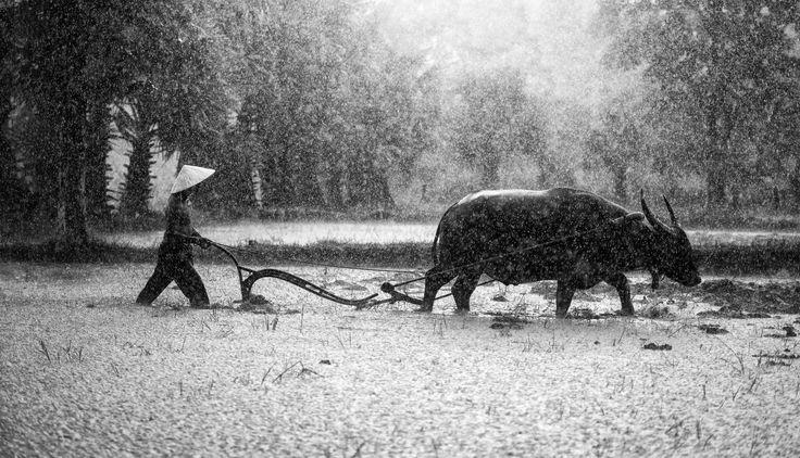 🌞 Agriculture asia beautiful cambodia - get this free picture at Avopix.com    ➡ https://avopix.com/photo/53493-agriculture-asia-beautiful-cambodia    #swine #silhouette #animal #deer #caribou #avopix #free #photos #public #domain