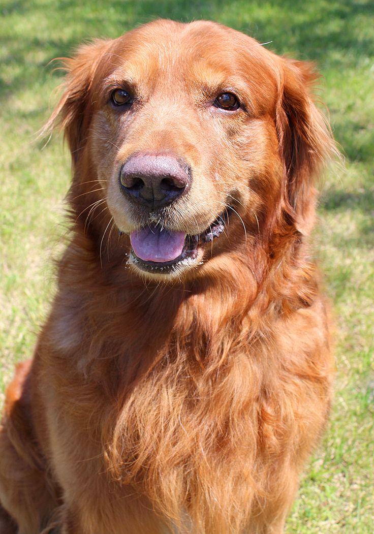 Jude has been adopted! This is Jude - 8 yrs. He was an owner surrender along with his mom Mandie due to a move.They are very close and would like to be adopted together. He is neutered, current on vaccinations, potty trained, rides well in a car, kids over age 10 yrs. Golden Retriever Rescue Resource, OH.