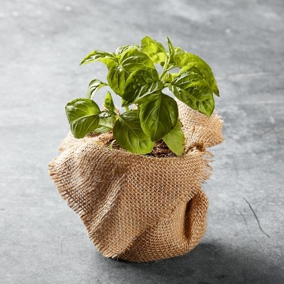 Organic Italian Large-Leaf Basil #WilliamsSonoma