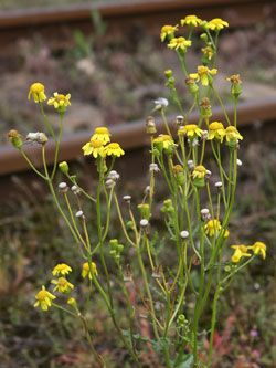 starček jarní - Senecio vernalis | Květena České republiky - plané rostliny ČR…