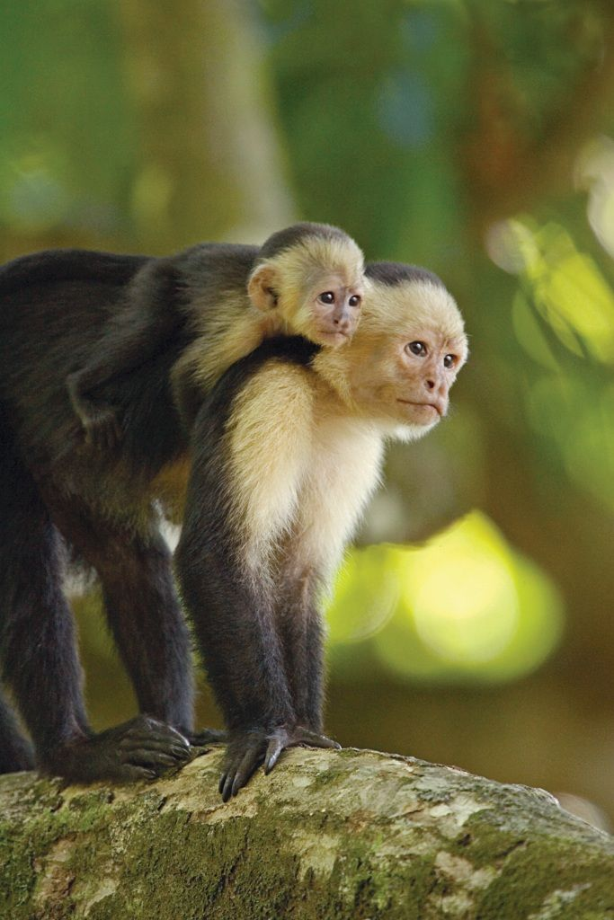 White-faced capuchin monkey, Central and South America