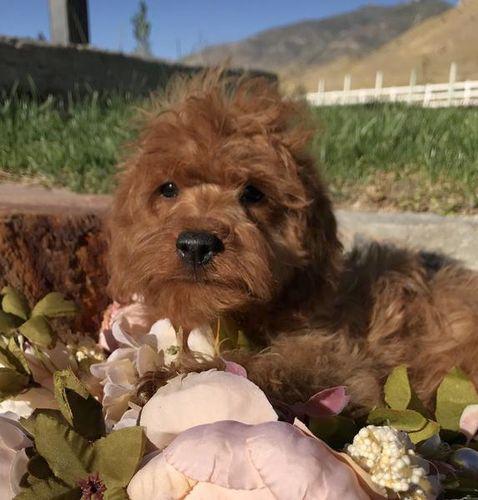 Tiny toy doodle Goldendoodles Utah | ksl com | Puppies