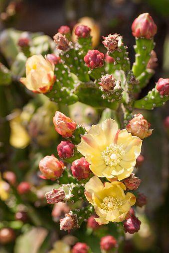 cactus  flowers  buds ile ilgili görsel sonucu