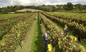 Workers pick pinot noir grapes at Chapel Down's vineyard in Tenterden, Kent.