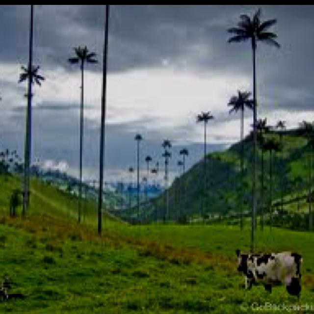 Palmas de Cera Quindio Colombia V alle de Cocora