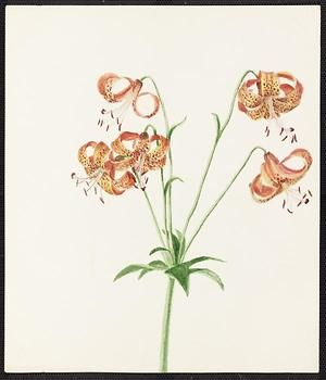From the collection at Andersen Horticultural Library. Emma Roberts (1859-1948), a watercolorist from Minneapolis, founded the Handicraft Guild, and was supervisor of drawing for Minneapolis Public Schools. Emma painted Lilium Canadense (Wild Yellow Lily) in Minneapolis. It is dated July 31, 1885.