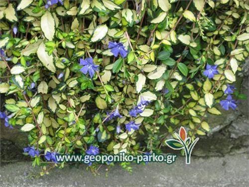 Κρεμαστά φυτά - Κρεμοκλαδή : Βίνκα έρπουσα - Βίγκα κρεμαστή   Vinca minor - Vinca major 3 euros