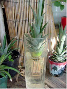 Dry Pineapple Crown for one week, place in water (change every few days), and plant in soil once a good root system has sprouted. May take up to two years before Pineapple plant bares its first fruit
