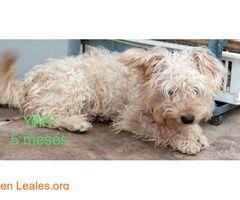 YAKI  #Adopción #adopta #adoptanocompres #adoptar #LealesOrg  Contacto y info: Pulsar la foto o: https://leales.org/animales-en-adopcion/perros-en-adopcion/yaki_i2660 ℹ   NECESITAN ADOPCIÓN O CASA DE ACOGIDA URGENTE!!!  Estos perrito malviven en una casa donde no tienen recursos para mantenerlos. Están muy delgaditos y hay que sacarlos de allí lo antes posible.  Son de tamaño pequeño y pesarán unos 4 kilitos  En cada foto está el nombre y la edad.  Los ayudas a buscar un hogar??  Contacto…
