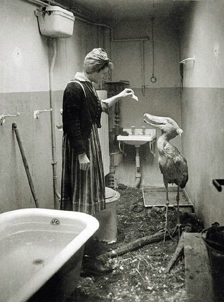 In 1945 while Berlin was being bombed this zoo resident shoebird was given domicile and cared for by a nurse in her apartment.
