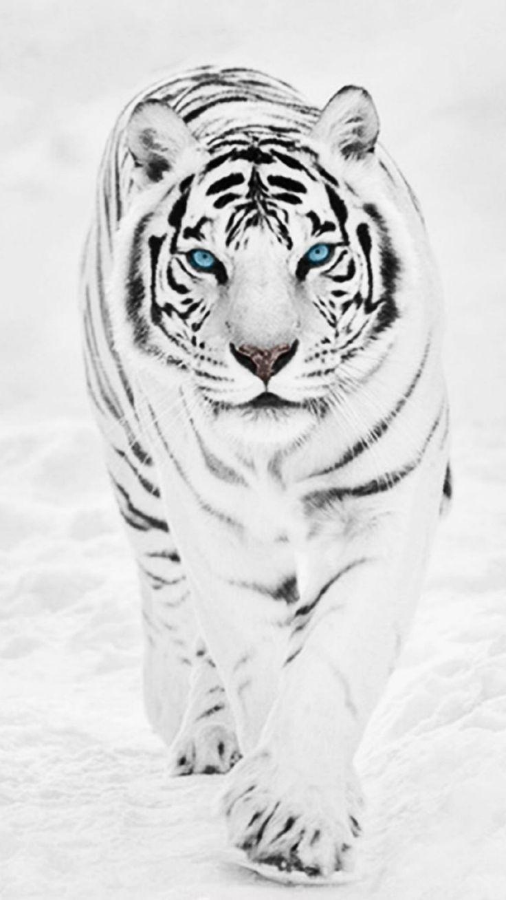 White Wild Tiger Animal Retina #iPhone #6 #plus #wallpaper