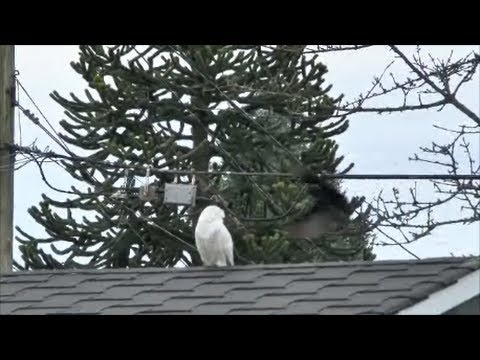 Snowy Owl Gets Unwanted Welcome From Burnaby Crows