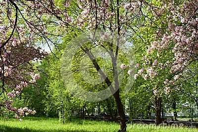 Beautiful blooming apple tree in spring park. Pink flowers on the background of green foliage.