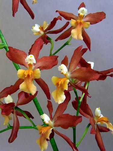 Inter-generic Orchid-hybrid Burr: Burrageara 'Stefan Isler' [Burrageara is an inter-generic hybrid between four orchid genera: Cochlioda, Miltonia, Odontoglossum and Oncidium] - Flickr - Photo Sharing!