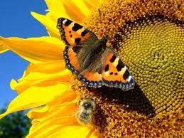 Сбор подсолнечника. Как правильно собирать и хранить семена подсолнечника? #сборподсолнуха #подсолнух #сборурожая