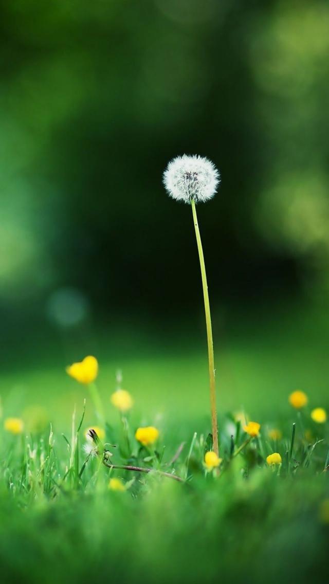 Flowers, grass, dandelions, depth of field