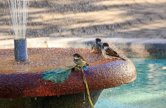 SHOWER MOMENT Passerotti fanno il bagno nella fontana in piazza a Borgosesia (VC), Valsesia