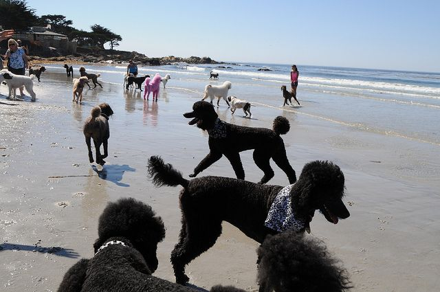 Poodle Day 2013 (beach) by oodlesofstandardpoodles on Flickr. Looks like Heaven to me!