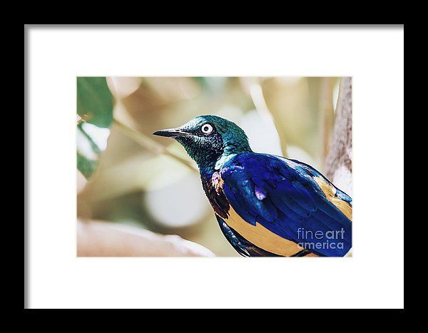 Golden Breasted Starling Bird Portrait Framed Print