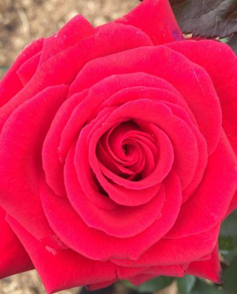 🌹🌹🌹#kardinal you are so perfect 🙌 #redroses #rose #rosegarden #beautiful #gardendesign #garden #melbourne