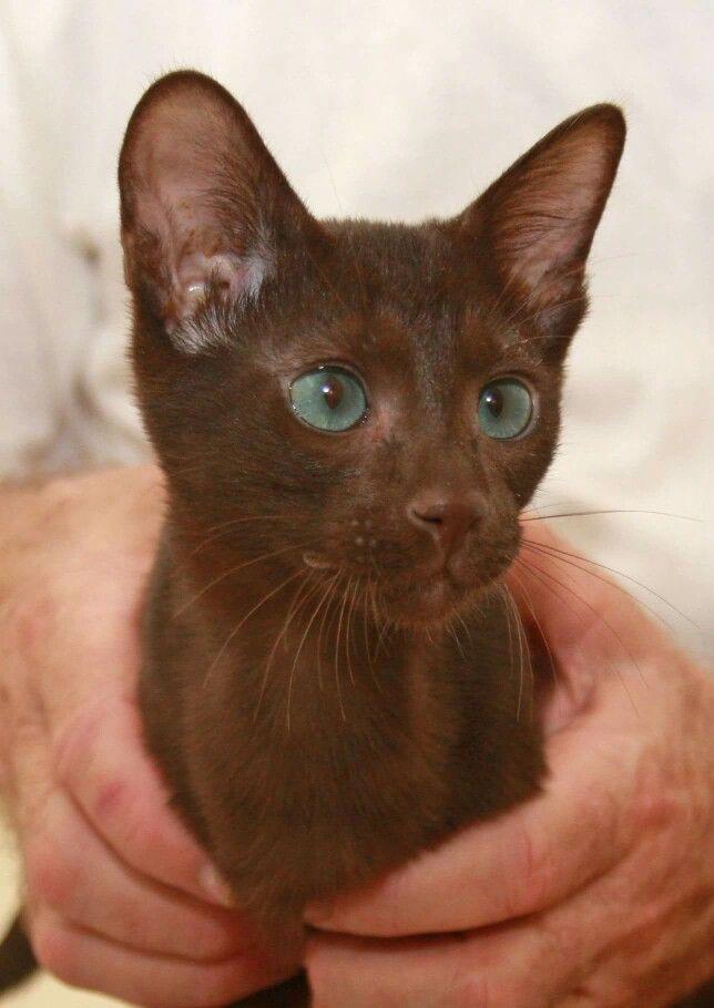 Havana kitten.  Beautiful.