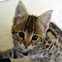 Image result for serval kitten