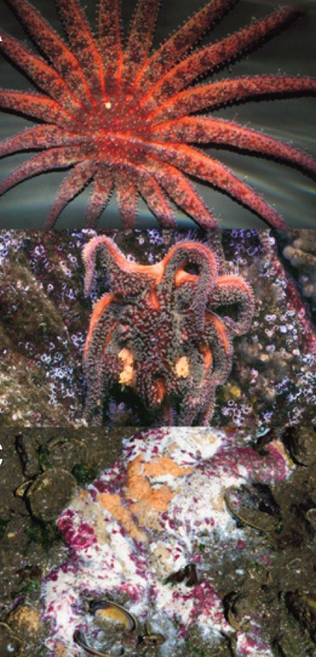 A sunflower starfish distingegrates due to SSWS. Credit: Hewson et al, 2014.