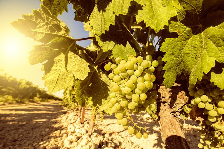 """Spirit Sherry """"Vines and Wines"""" Vineyard Tour This is our day of """"Vines and Wines,"""" a unique experience for you to explore the sherry culture. You can spend a day in the vineyard with us, where we will show the daily chores of a winegrower. We …"""