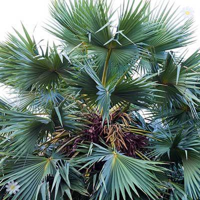 huge Mediterranean Chamaerops humilis Cerifera (Blue Fan Palm) 40-60cm