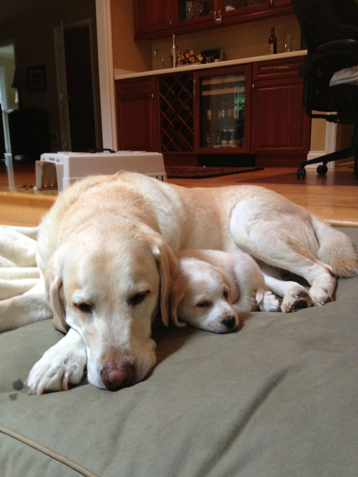 """""""Always remember, mama loves you!"""" #dogs #pets #LabradorRetrievers #puppies Facebook.com/sodoggonefunny"""