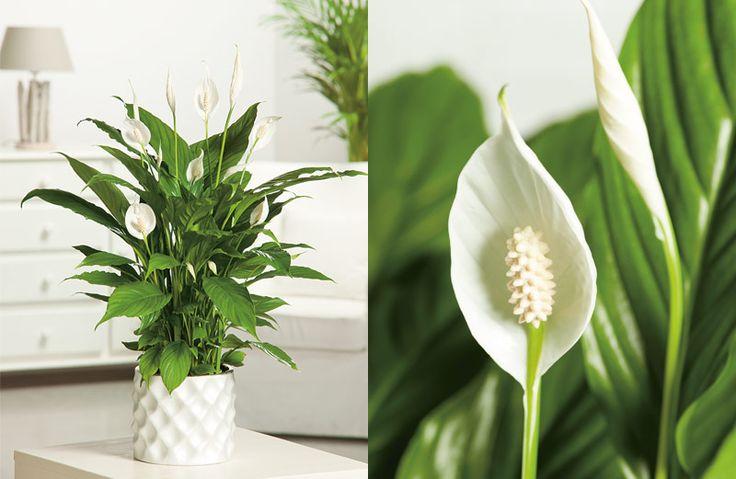 6x grote kamerplanten als blikvanger. #kamerplant #wonen #spathiphyllum #lepelplant