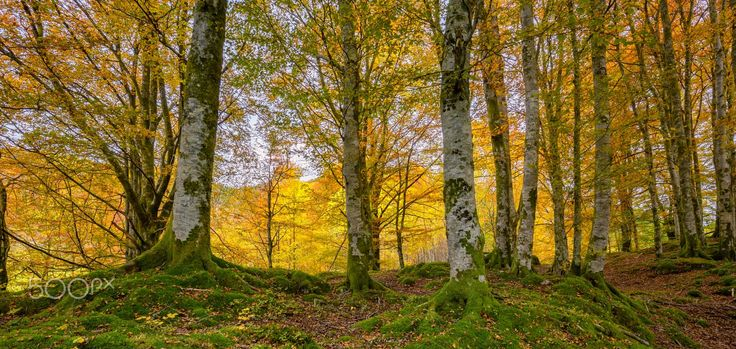 Autumnal Beech Forest - Autumnal colors in the beech forest.