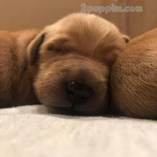 Find Your Dream Puppy Of The Right Dog Breed At Puppies Puppies For Sale Dog Breeds