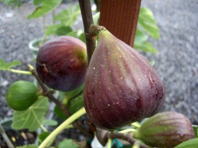 Hardy Fig Trees: Choosing Fig Trees For Zone 5 Gardens