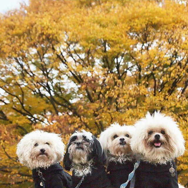 先日のお散歩pic📷 大きな木が色付いていてなんとも圧巻 にしても………カメラ📷………もっと上手くなりたいなぁ~😥 #シーズー #shihtzu #マルチーズ #maltese #マルシーズー #トイプードルホワイト #toypoodlewhite #トイプードル #toypoodle #トイプー #toypoo #ミックス犬 #mix #多頭飼い #愛犬 #dog #dogstagram #dogpic #紅葉 #航空公園 #犬バカ #親バカ #犬なしでは生きていけません会 #犬のいる暮らし #愛犬のお惣菜 #ペピ友 #inulog #inutokyo #east_dog_japan #all_dog_japan