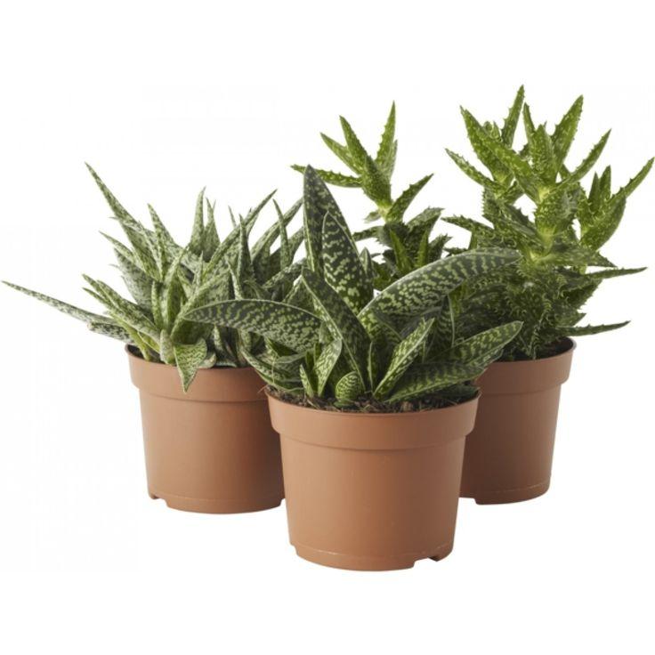 Aloe vera mix sorter