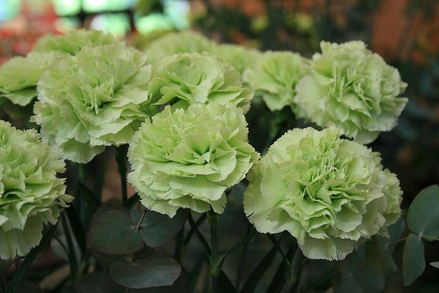 light green carnations - can you get these?