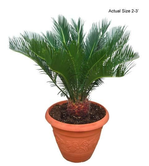 Real Palm Trees-Sago Palm Tree - If you would like more information about the beautiful Sago Palm, also known botanically as Cycas Revoluta, give Real Palm Trees a call at 877-RPT-AGRO (778-2476) and take a virtual tour of the nursery at www.realpalmtrees.... Great for birthdays, anniversaries, offices, apartments, interior and exterior landscaping and so much more!