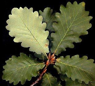 Quercus canariensis (Quejigo moruno, roble andaluz)