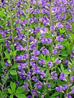 13 Perennials You Should Not Divide {Pictured is Blue False Indigo (Baptisia australis))   HGTV