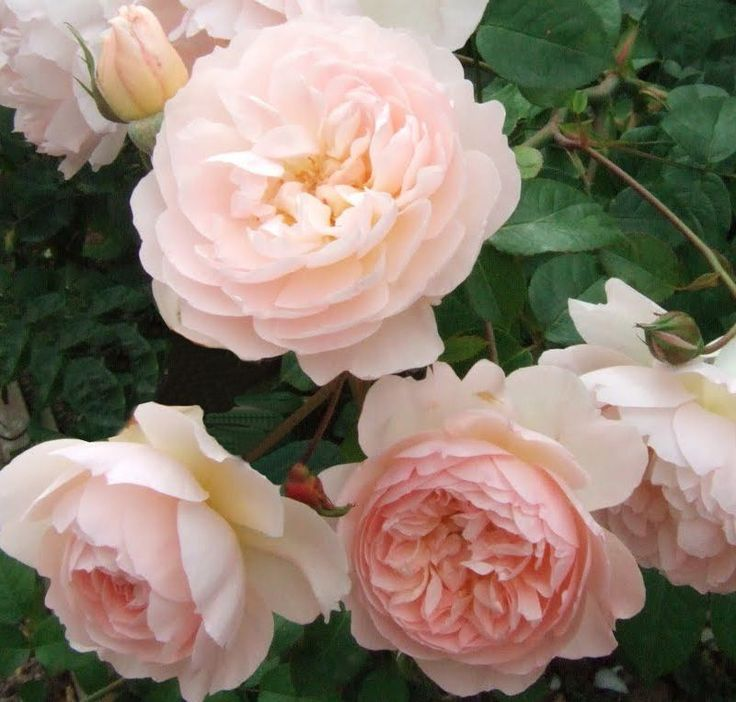 Rosa The Generous Gardener Bred By David Austin This Rose