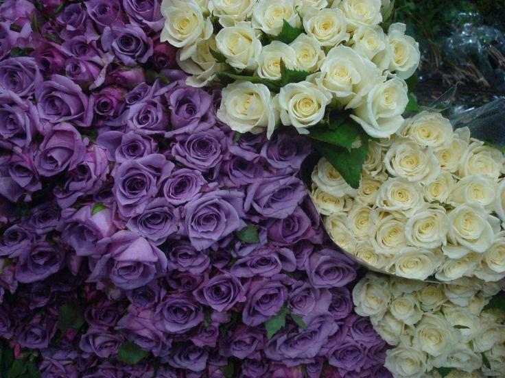 Rosas roxas e roxas brancas